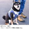 柴犬8.5kg(首32/胴53/丈35cm)の凪ちゃんはブルーのXLを着用