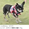 チワワ1.7kgのニコちゃんはレッドのXSを着用