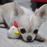 チワワ2.4kgのこむぎくんは鶏ホワイトで遊んでくれました